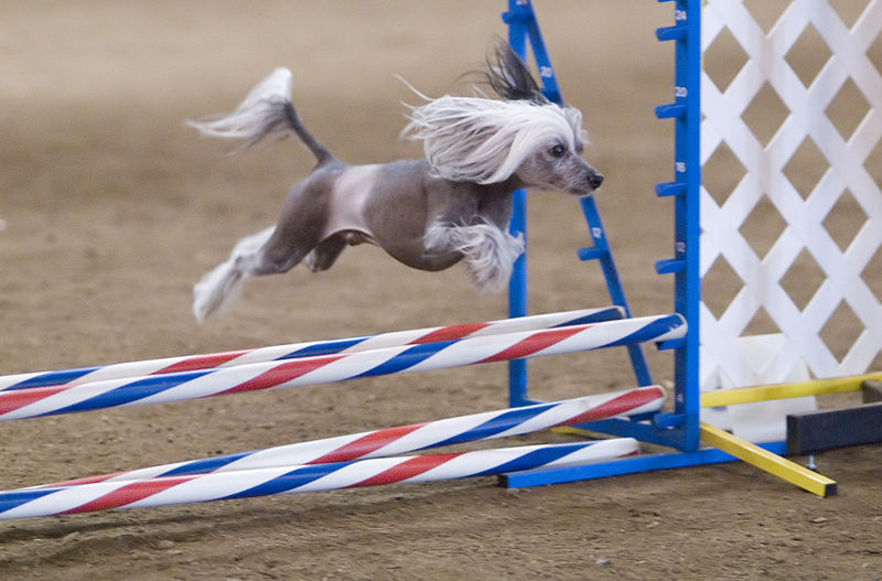 Chinese Crested Jumping