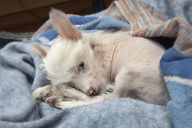 Chinese Crested Sleeping