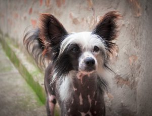 Chinese crested training