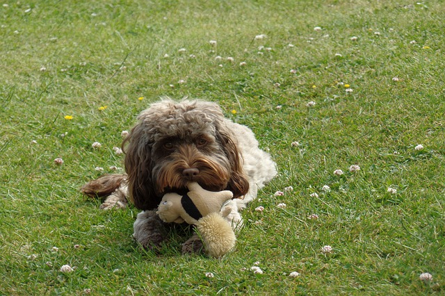 Cockapoo with toy