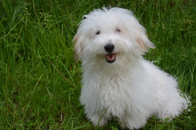 Coton de Tulear in grass