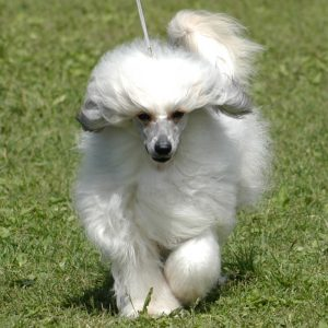 Do chinese crested shed