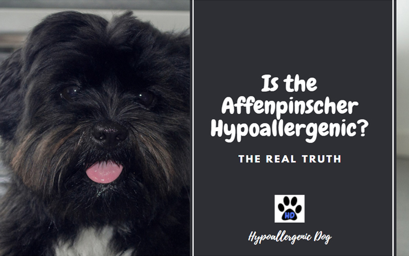 Is the Affenpinscher Hypoallergenic