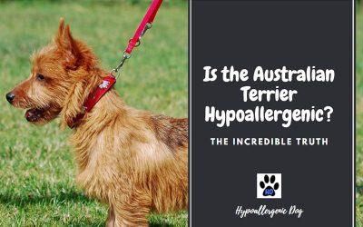 Are Australian Terriers Hypoallergenic?