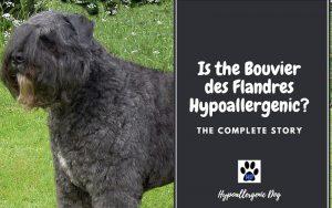 Is the Bouvier des Flandres Hypoallergenic