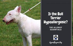 Is the Bull Terrier Hypoallergenic