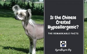 Is the Chinese Crested Hypoallergenic
