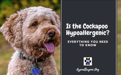 Is the Cockapoo Hypoallergenic?