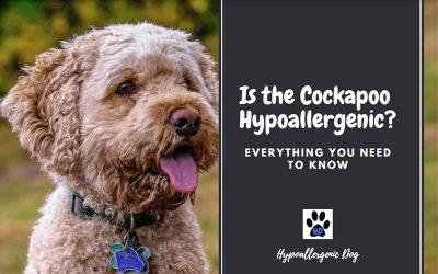 Is the Cockapoo Hypoallergenic?
