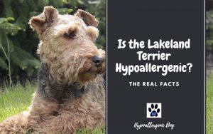 Is the Lakeland Terrier Hypoallergenic