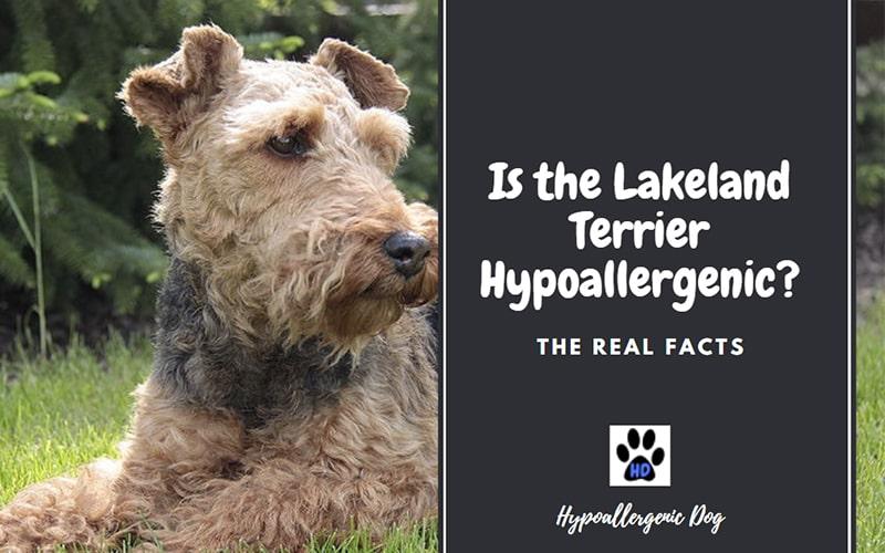 Are Lakeland Terriers Hypoallergenic?