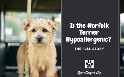 Are Norfolk Terriers Hypoallergenic Dogs?