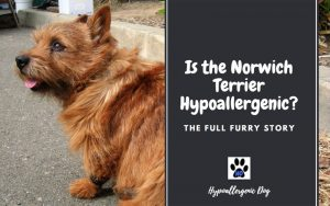 Is the Norwich Terrier Hypoallergenic