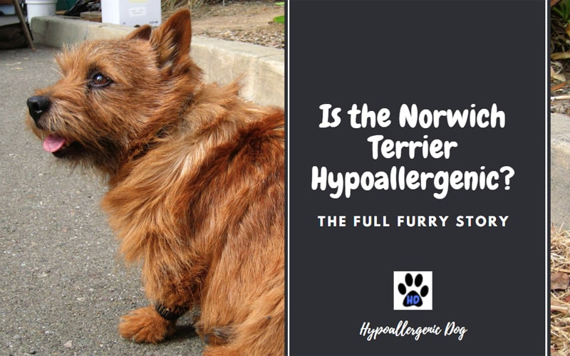 Is the Norwich Terrier Hypoallergenic?
