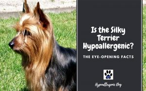 Is the Silky Terrier Hypoallergenic