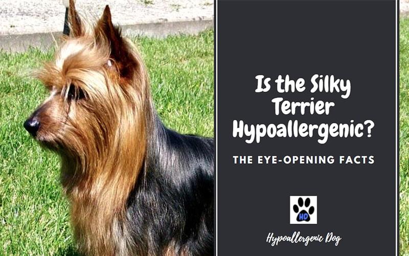 Is the Silky Terrier Hypoallergenic