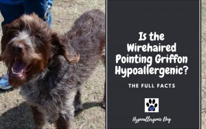 Is the Wirehaired Pointing Griffon Hypoallergenic