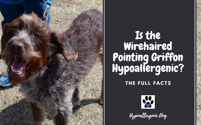 Are Wirehaired Pointing Griffons Hypoallergenic Dogs?