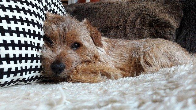 Lazy Norfolk terrier