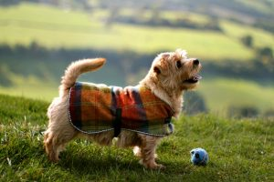 Norfolk Terrier Play Time