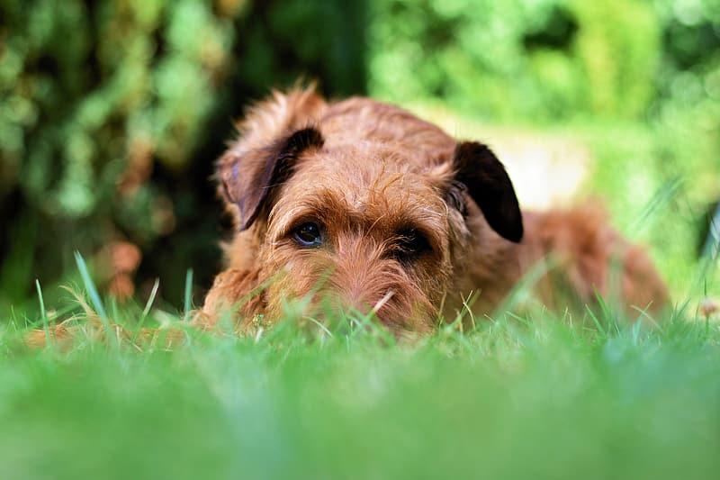 Norfolk Terrier in grass