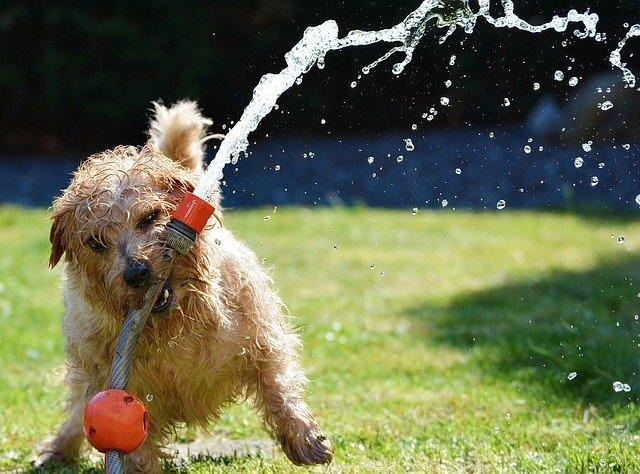 Norfolk terrier bathing time