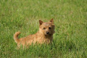 Norwich Terrier in grass