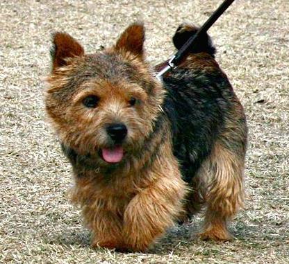 Norwich Terrier in walk