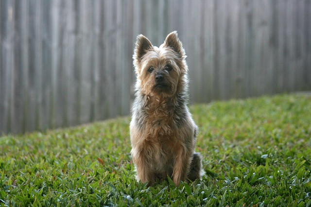 Silky Terrier Sitting Down