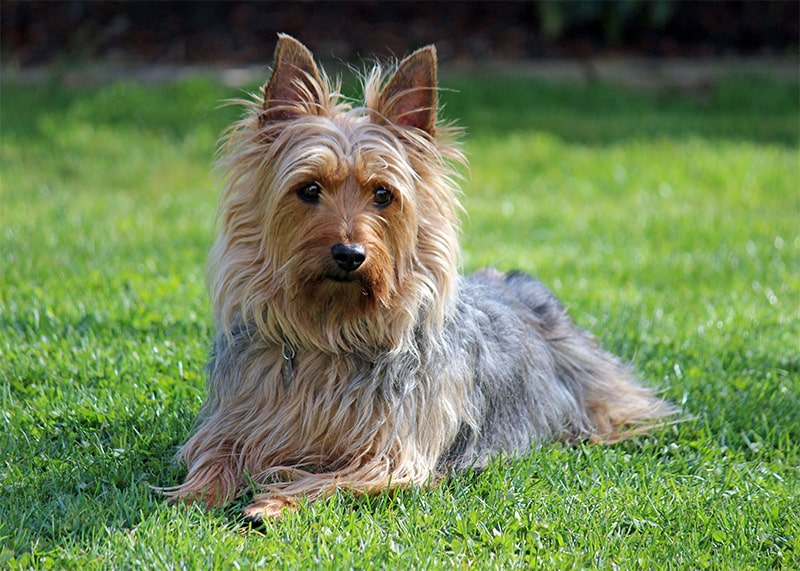 Small Silky Terrier Health