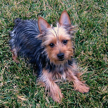 Small Silky Terrier