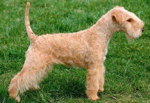 Temperament of Lakeland Terrier