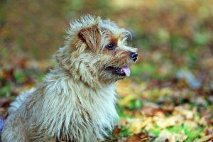 Temperament of Norfolk terrier