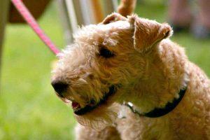 Training of Lakeland Terrier