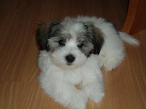Tricolo Coton Puppy