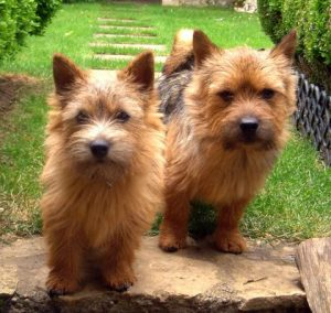 Two Norwich Terrier