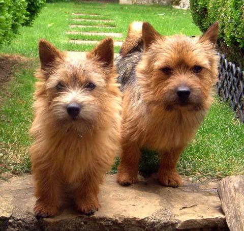 Two Norwich Terrier