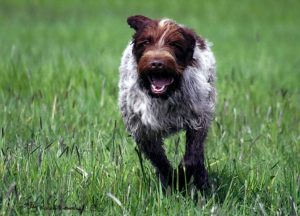 Wirehaired pointing griffon running