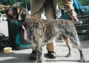 Wirehaired pointing griffon showroom