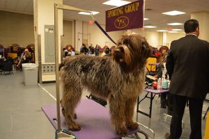Wirehaired pointing griffon standing