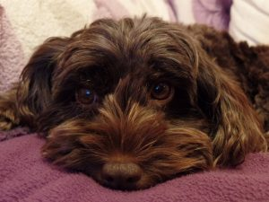 cockapoo hypoallergenic brown