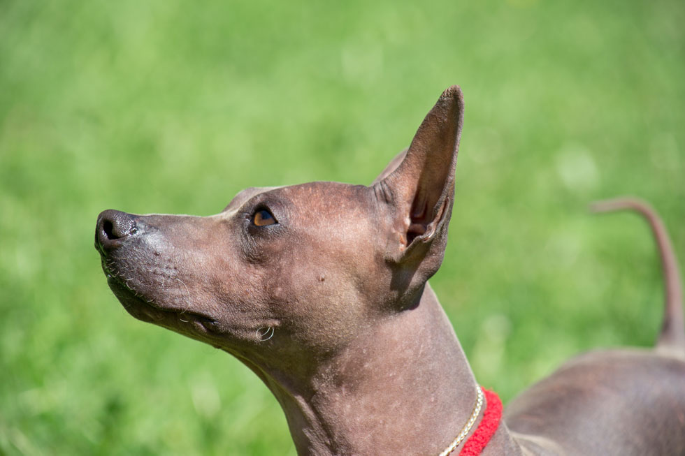 About-American-Hairless-Terrier