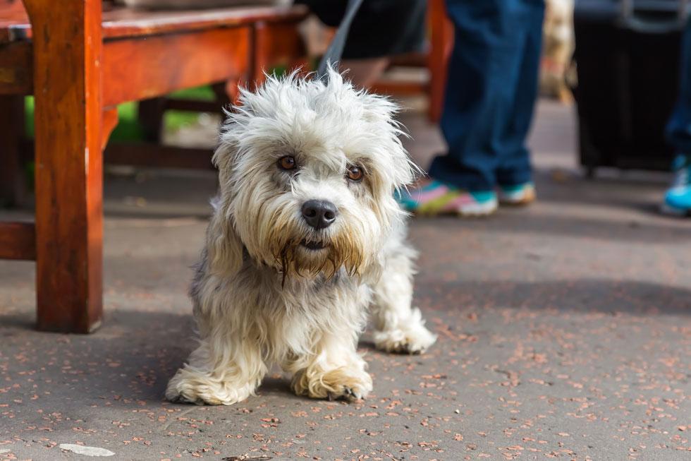 About-Dandie-Dinmont-Terrier