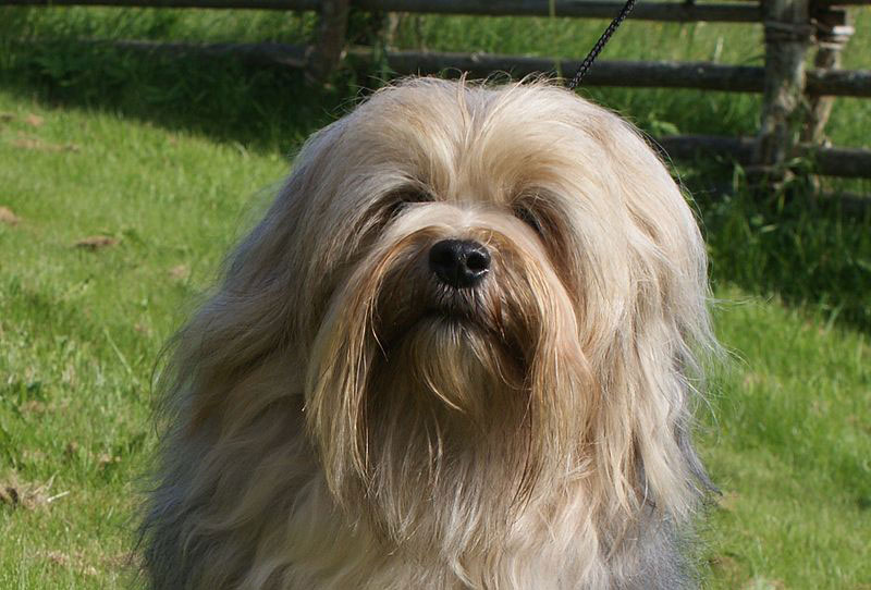 About Lowchen Breed
