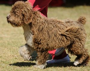 About-Spanish-Water-Dogs-Hypoallergenic