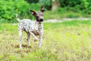 American-Hairless-Terrier-Hypoallergenic