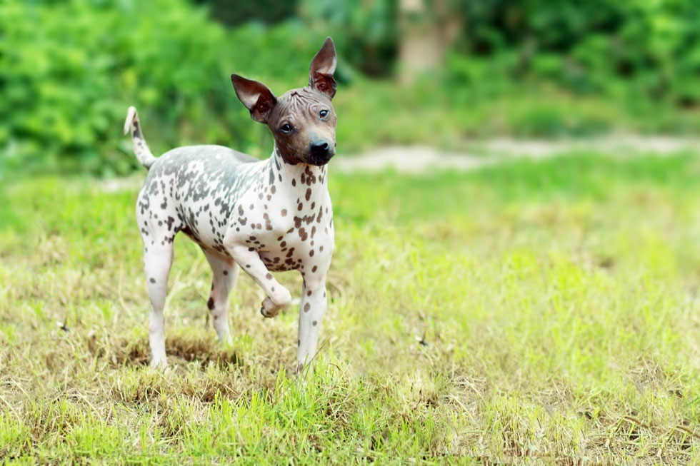Is the American Hairless Terrier Hypoallergenic?