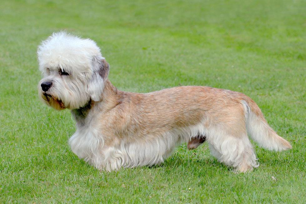 Dandie-Dinmont-Terrier-Hypoallergenic