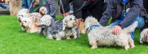 Dandie-Dinmont-Terrier-exercise-training