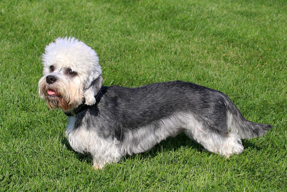 Dandie-Dinmont-Terrier-health